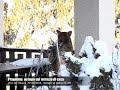 Pragelato: un lupo sul terrazzo di casa