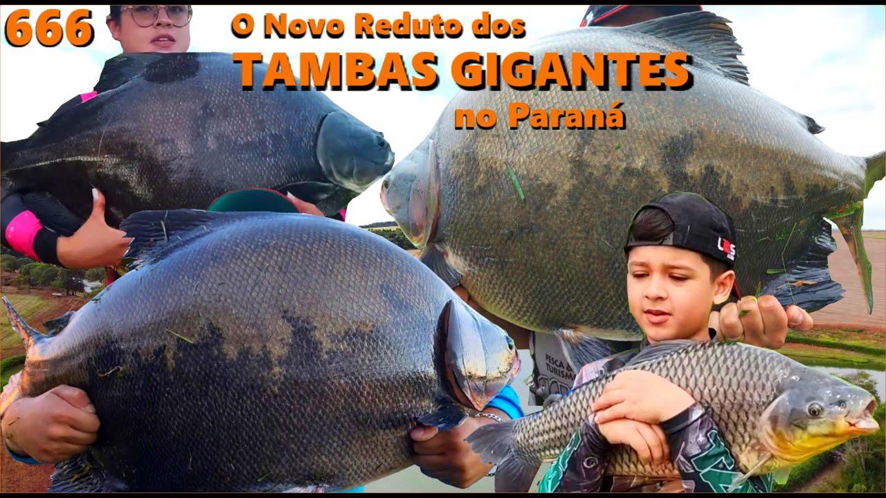 O Novo reduto dos TAMBAS GIGANTES no Paraná - Pesqueiro Santa Maria - Programa Fishingtur 666