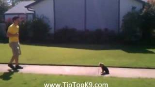 Chloe - Yorkie Poo Obedience -  Tip Top K9 Puppy Training