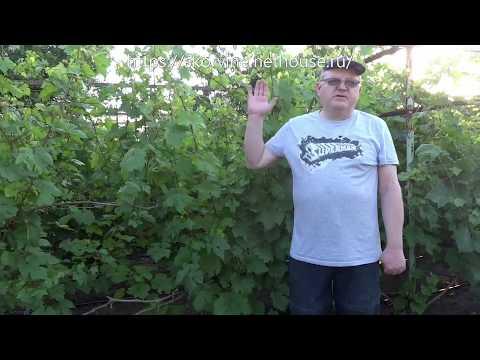 И снова листовертка! Не пропустите вторую обработку! | листовертка | выращивание | вредителей | обработка | гроздевая | винограда | виноград | защита | от | л