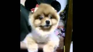 Funny Dogs Pomeranian