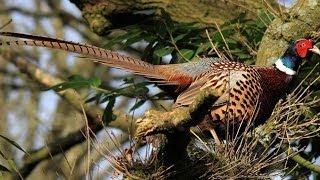 #1103. Глухари, тетерева и фазаны (В мире животных)