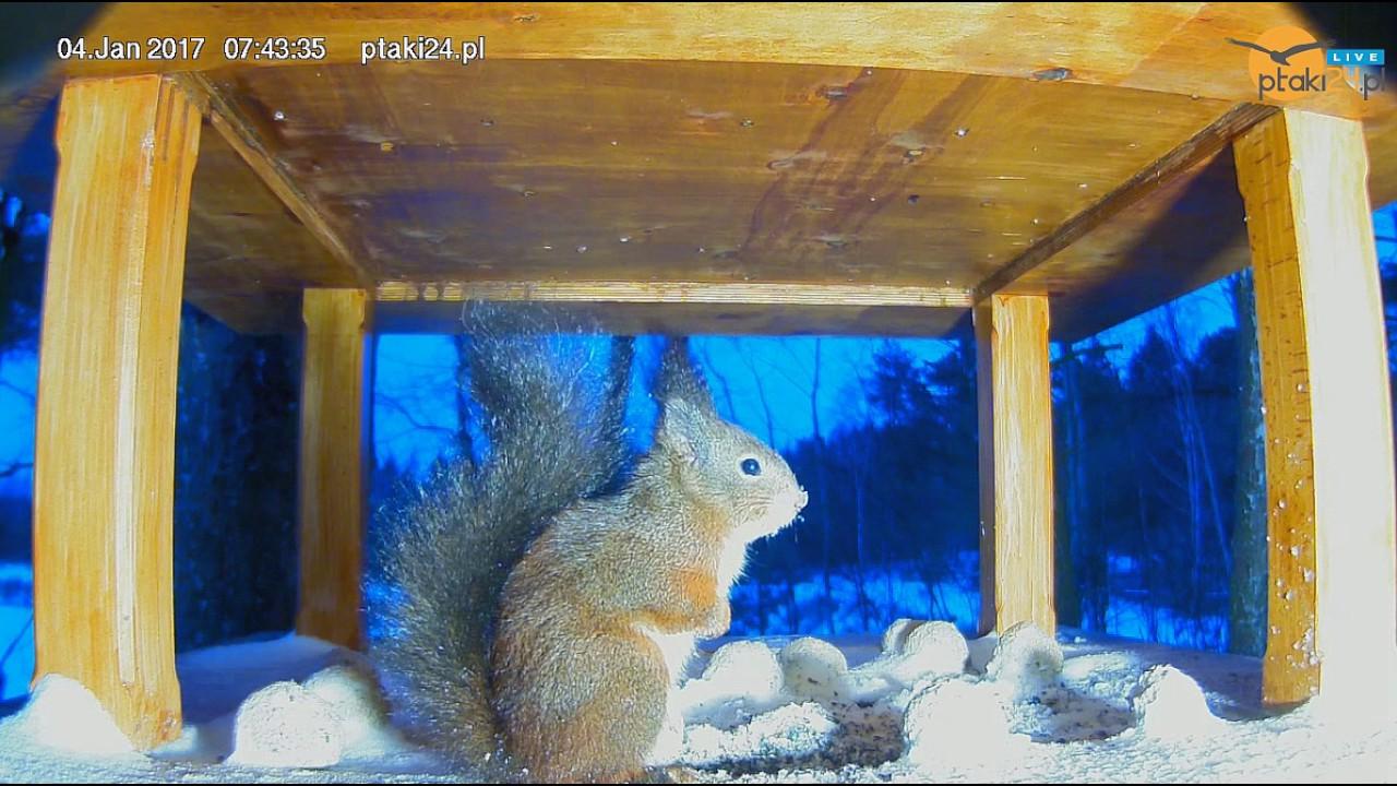 Wiewiórka w karmniku dla ptaków w lesie na Podkarpaciu