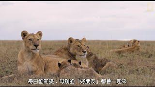每日酷知識:母獅「經期」竟也逗陣行 thumbnail