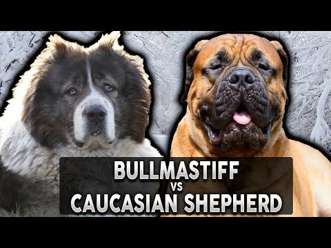 BULLMASTIFF VS CAUCASIAN SHEPHERD! The Best Guard Dog Breed For First Time Owners!