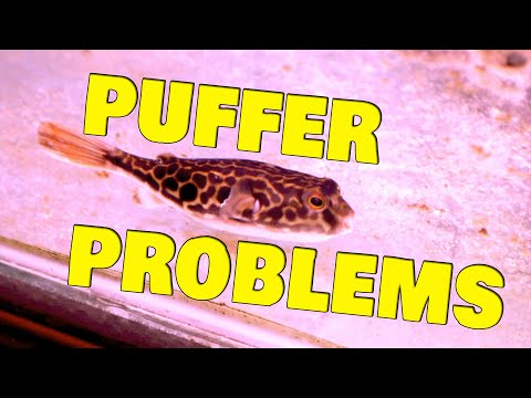 MBU Puffer Fish Mystery Illness