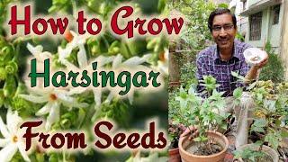 How To Grow Parijat Or Harsingar From Seeds / Growing Night Flowering Jasmine Plants