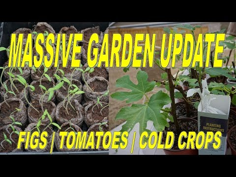Garden Update: Figs, New Cuttings, Tomato Seedlings And Cold Weather Crops