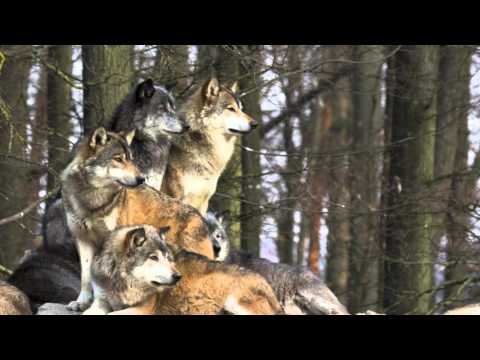Wolves Reintroduced in Yellowstone