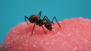 When Ants Meet Candy