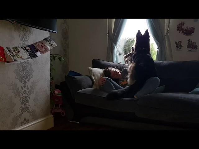 Very Very nosy German Shepherd !