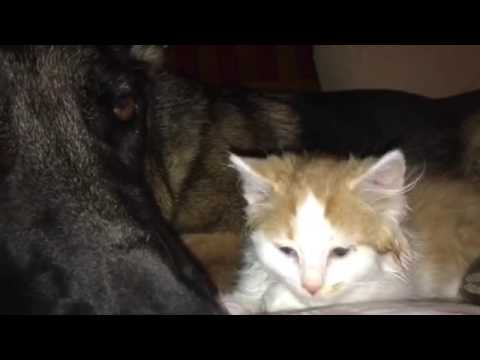 HG is much more gentle With the foster kittens