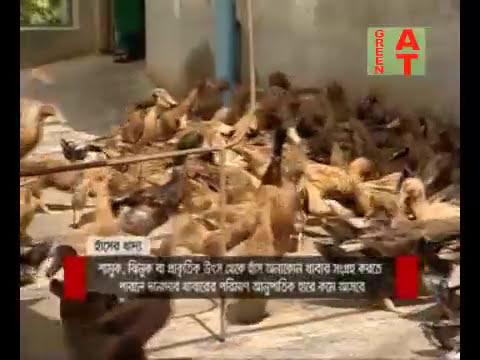 Duck farming System, হাঁসের বাসস্থান তৈরীর নিয়ম, ব্রডার ঘরের তাপমাত্রা, পানি সরবরাহ ও খাদ্য প্রদান