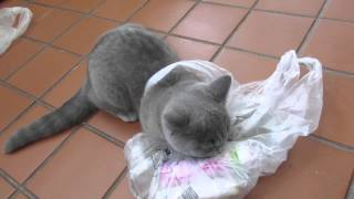 BRITISH SHORTHAIR CAT GOES CRAZY WITH PLASTIC BAG! | BONUS CLIP