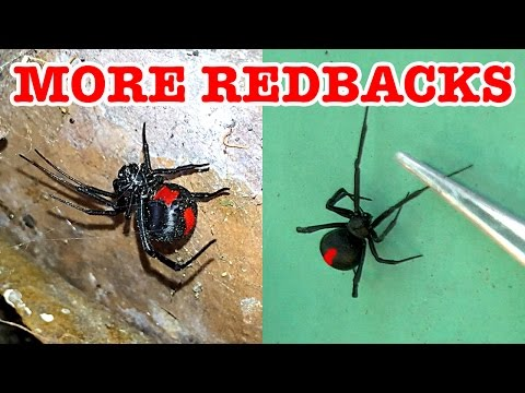 Scary Redback Spider Infestation Found Lets Investigate