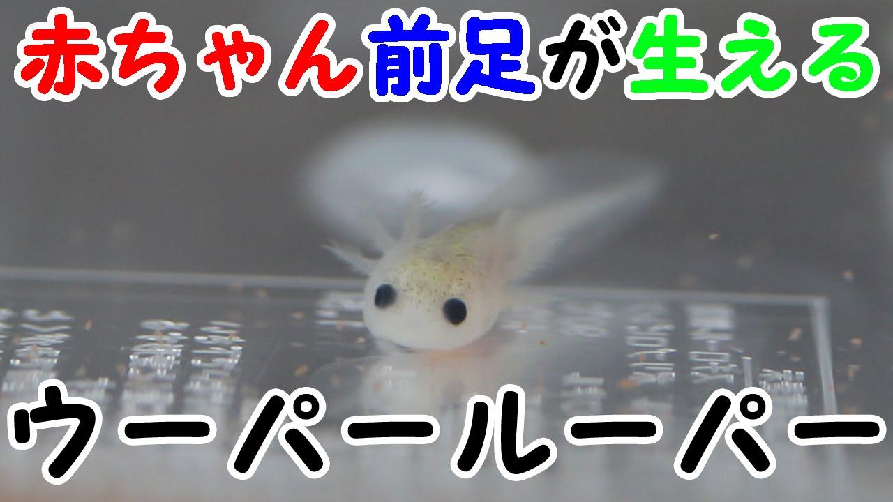 赤ちゃん ウーパールーパー ウーパールーパーの赤ちゃん (あぽぃ)