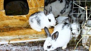 Окрол крольчихи: советы