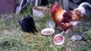 Кот и петух, битва!)