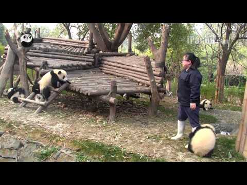 Panda cub not letting keeper mom go