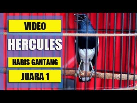 Video KaCer HERCULES NYerecet Habis Gantang Juara 1 | Milik Tommy Reiyders