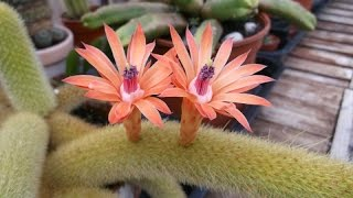 My Hildewintera Aureispina 'Golden Rats Tail' Cactus in twin peach bloom