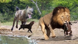 Male Lions Attack the Hyena Cubs | God cannot save Hyena Cubs | Clash of Enemies