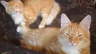 Мои  рыжие кошки на даче в Манихино.