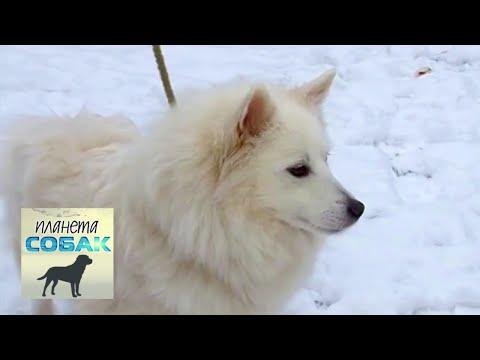Кеесхонд. Планета собак 🌏 Моя Планета