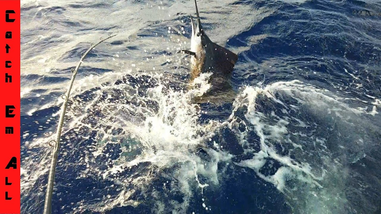 SHARKS ATTACK MY GIANT SAILFISH