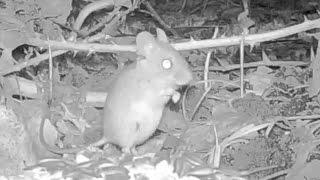Topo Selvatico - Wood Mouse (apodemus Sylvaticus) 092, Fototrappola A Corte Franca