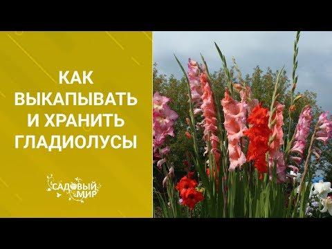 Как выкапывать и хранить гладиолусы