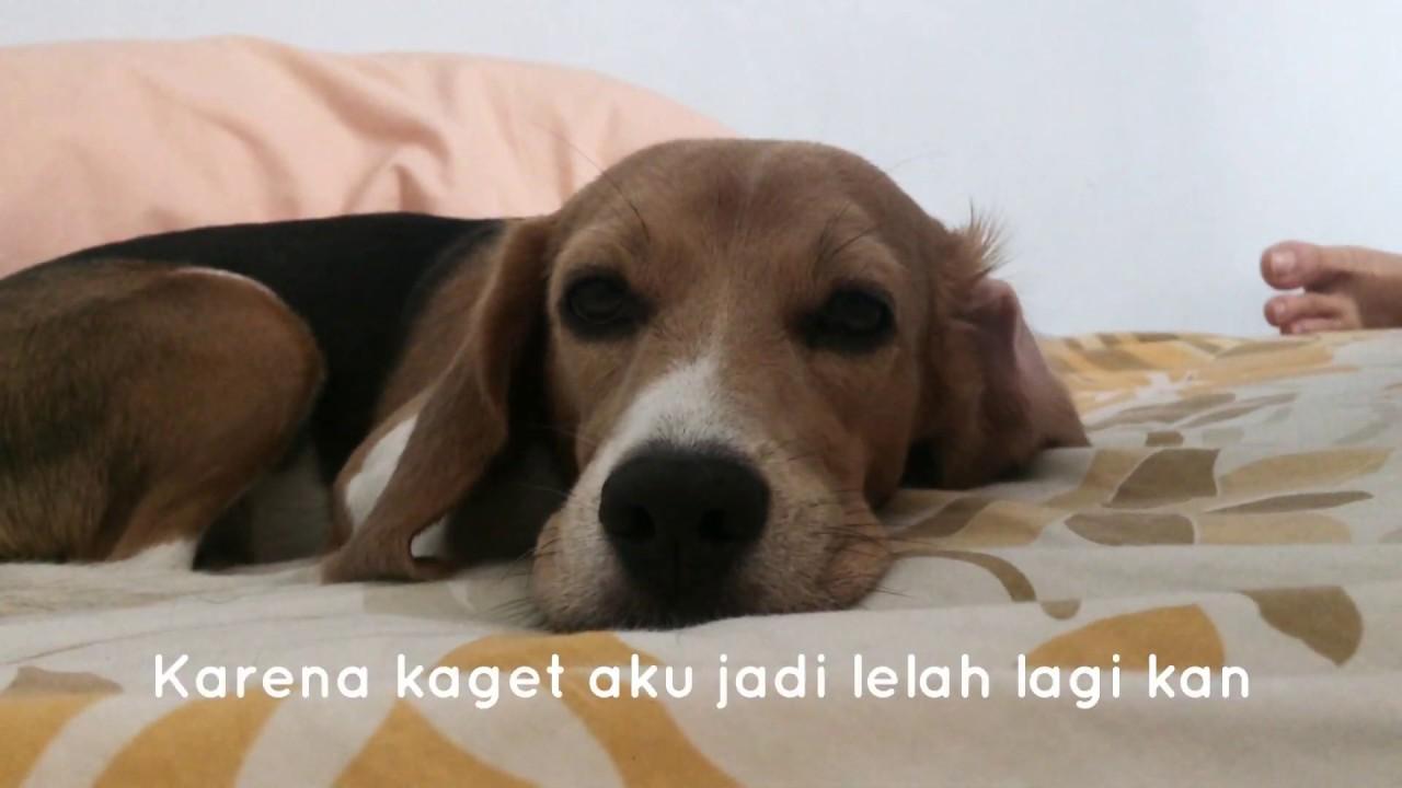 Anjing Beagle Nyantai Di Sore Hari Youtube