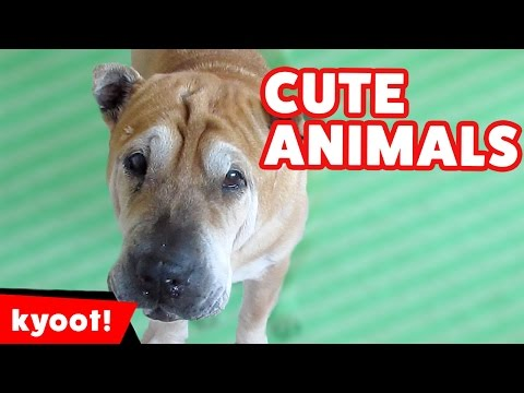 The Funniest Cute Pets & Animals Reactions & Bloopers of 2016 Weekly Comp | Kyoot Animals
