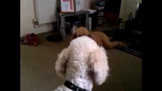 Standard Poodle V Wolf Man Shaun Ellis (howling Competition)