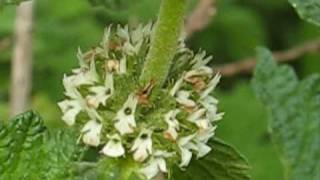 White Horehound--closeup footage