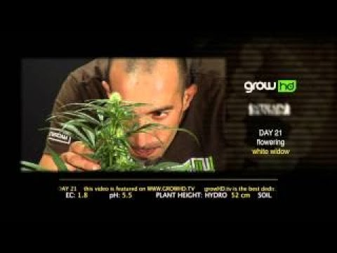 White Widow Green House Grow Sessions