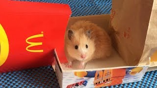 McDonalds Maze  for Hamsters 🍟 Obstacle Course from McDonald