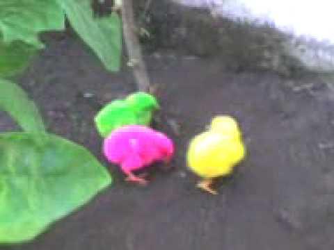 Ayam Lucu Youtube