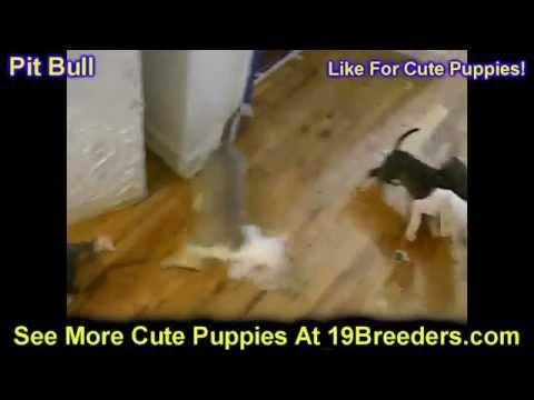Pitbull, Puppies, Dogs, For Sale, In Little Rock, Arkansas, AR, 19Breeders, Fayetteville, Jonesboro