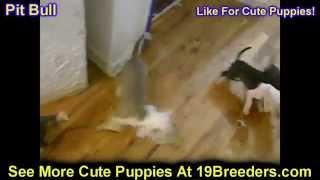 Pitbull, Puppies,for,sale, In,orlando Florida, Fl, Deltona,melbourne,palm Coast,