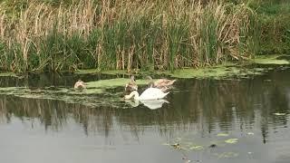 Не путайте гусей с лебедями