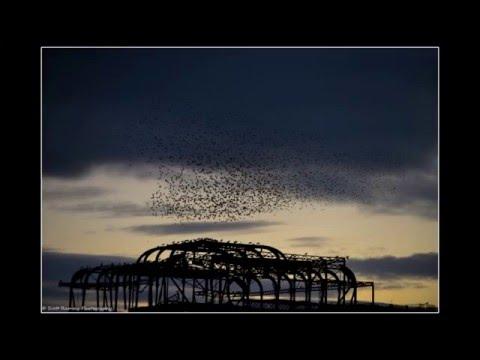 Starling Murmuration Brighton West Pier SRPix photographs this amazing event