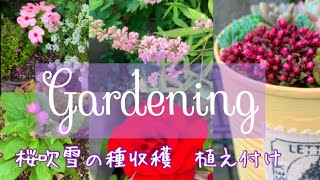 Gardening  多肉事と庭仕事/桜吹雪の種まき/薔薇の様子/ガーデニング/多肉植物寄せ植え/暮らし