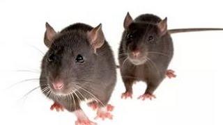 Смотреть видео  если под гипсокартоном завелась крыса