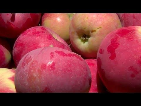 На Кубани заканчивается уборка ранних сортов яблок
