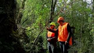 Finding Huon pine in Tasmania
