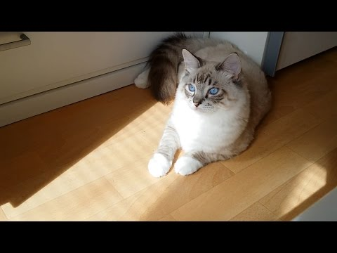 cute ragdoll kitten is frightened by the shadow