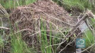 Nutria Hunted to Save Wetlands