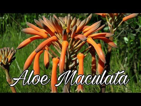 Aloe Maculata (Saponaria) en el bosque.