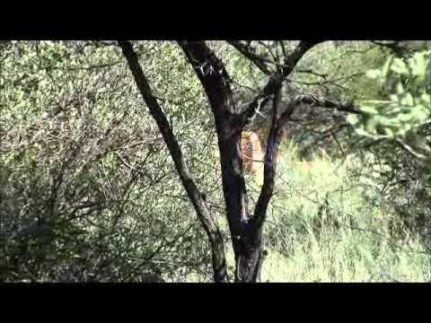 Lion Hunting (Full Charge) – Hartzview Hunting Safaris